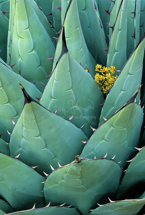 Agave Americana, or Century Plant, photographed in Guadalupe Mountains National Park in Texas.  The tiny yellow blossom between the leaves of the plant is not an agave blossom.