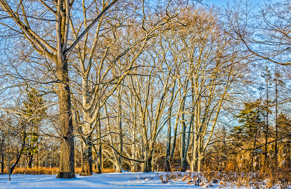 The sun is setting over Duke Farms, Hillsborough, NJ after winter storm.  The bark on the bare trees captures the many shades of light cast by the setting sun and creates wonderful shadows in the process.
