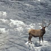 Elk bull in velvet, crossing the Madison River during late summer. Yellowstone National Park, Wyoming