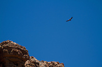 California Condor in  the Grand Canyon. Grand Canyon National Park, AZ.