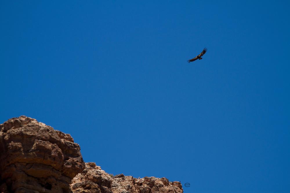 California Condor in  the Grand Canyon. Grand Canyon National Park, AZ.
