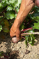 pulling beetroot from the ground on an organic vegetable farm