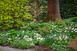 Erythronium californicum 'White Beauty' with Brunnera macrophylla, daffodils and hellebores in the woodland garden at Bosvigo