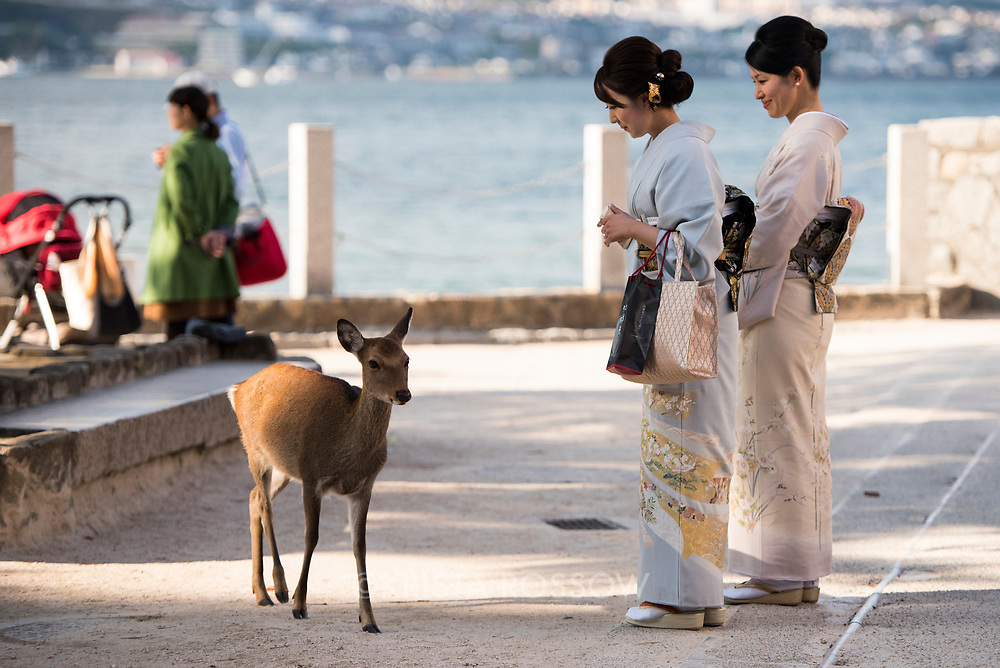 Japanese deer have become accustomed to tourists and wander freely on Miyajima Island in Hiroshima Prefecture, Japan. (Two women in kimon are model released.)