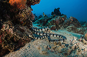 Black-banded sea krait (Laticauda semifasciata)<br /> Cenderawasih Bay<br /> West Papua<br /> Indonesia