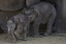 April 3, 2017 - Madrid, Madrid, Spain - The newborn Sumatran elephant, left, pictured playing with the 5 months old baby Pilar at Madrid zoo. (Credit Image: © Jorge Sanz GarcíA/Pacific Press via ZUMA Wire)