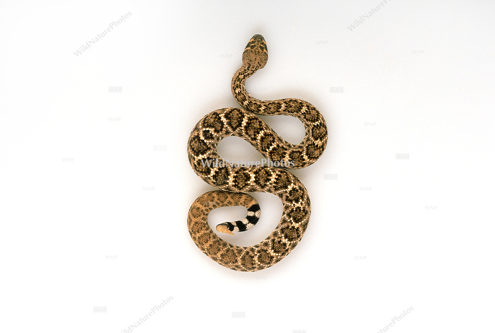 Western Diamondback (Crotalus atrox) rattlesnake, from above, on a white background. Studio Portrait. Good for cutouts.