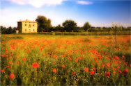 Villa San Donato in Italy, on the border between Tuscany and Lazio. Wild poppies in June.
