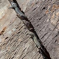 A group of lizards sitting inside a rock crevice on Pico do Arieiro.