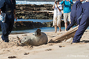 NOAA researchers release a Hawaiian monk seal, Monachus schauinslandi, after attaching a Crittercam and tracking instrumentation package; west end of Molokai, Hawaii, Ho Ike a Maka Project; photo taken under NOAA permit 10137-6