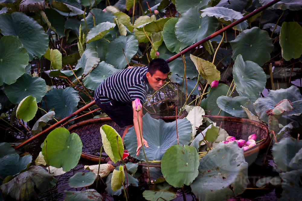 A man harvests lotus flowers in the morning at West Lake, Hanoi, Vietnam.