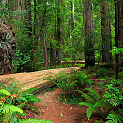 Stout Grove in the Jedediah Smith Redwoods State Park in California
