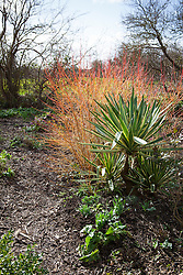 Sequence with Yucca, Cornus and snowdrops
