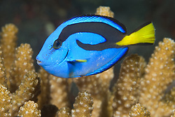 """The distinctively colored Palette Surgeonfish, a.k.a. """"Dory""""<br /> , Paracanthurus hepatus, often hides among coral branches if threatened. Barren Island, Andaman Islands, Andaman Sea, India"""