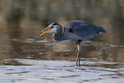A great blue heron (Ardea herodias) feeds on a small shrimp it caught in the mudflats at Skagit Bay in Washington state.