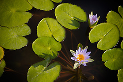 Water Lily, Purple #24