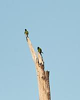 Nanday Parakeet (Aratinga nenday). Fort De Soto County Park. St. Petersburg, Florida. Image taken with a Nikon D3 camera and 500 mm f/4 VR lens.