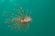 A Volitans Lionfish, Pterois volitans, an invasive speceies, swims underneath the Blue Heron Bridge in Singer Island, Florida, United States.