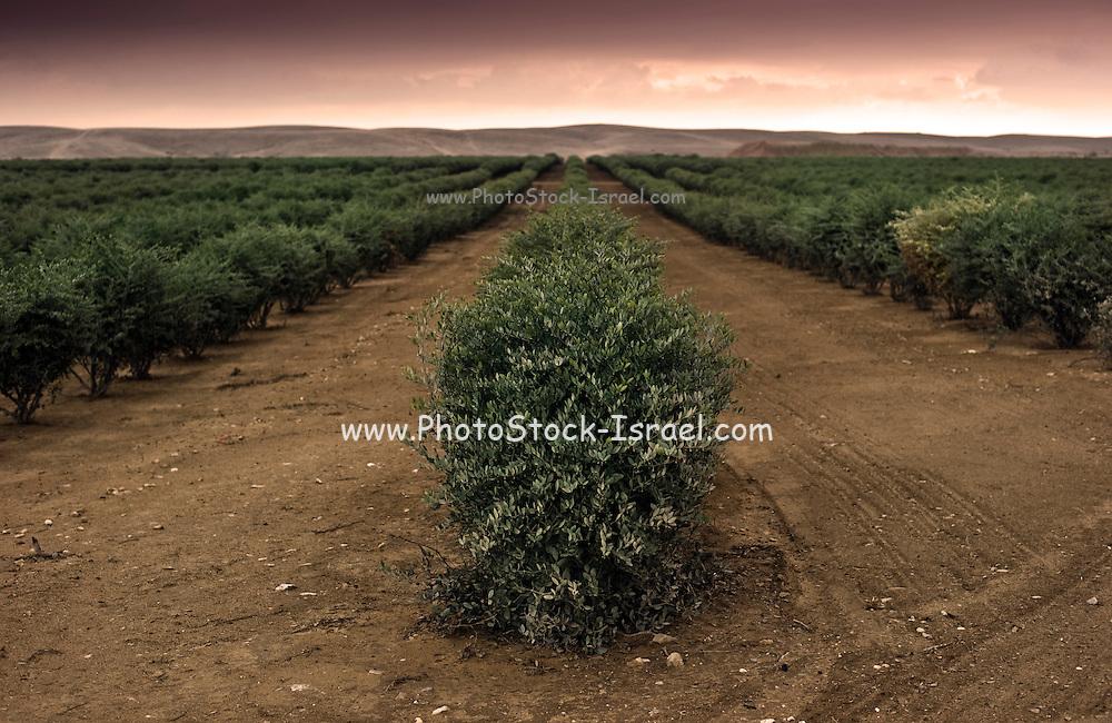Israel, Negev, Lachish region, Olive tree plantation