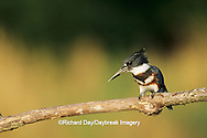01196-00507 Belted Kingfisher (Ceryle alcyon) female on log in wetland Marion Co.   IL