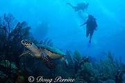 hawksbill sea turtle, Eretmochelys imbricata, Glover's Reef, Belize, Central America ( Caribbean Sea )