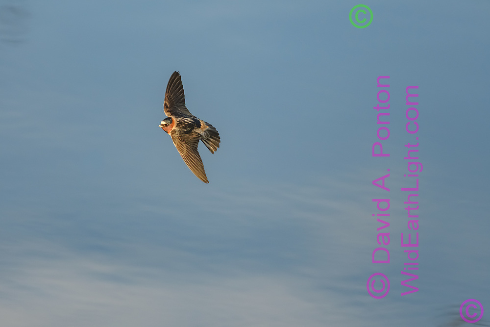 Cliff swallow in flight over pool reflecting sky, Greater Yellowstone Ecosystem, © David A. Ponton