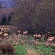 Elk, (Cervus elaphus) Roosevelt Elk in Redwoods National Park. California.