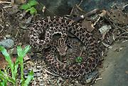 Slender Hog Nosed Pit Viper Snake, Porthidium ophryomegas, Central America, venomous, pitviper, on forest floor