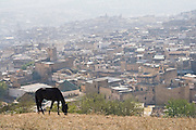 A black horse grazes on a hill overlooking Fes El-Bali, Morocco.