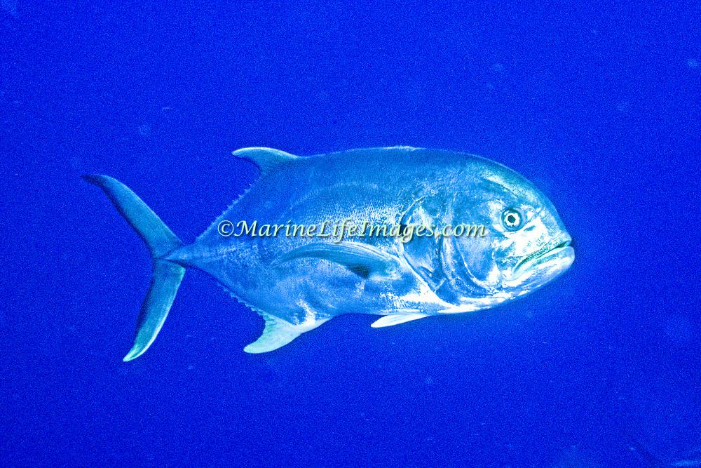 Crevalle Jack inhabit open water in Tropical West Atlantic; picture taken in Los Roques, Venezuela.