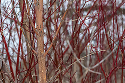 Red branches of a Dogwood bush in winter