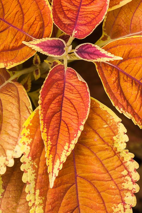 Hydrangea leaves, Newhalem, Washington, USA