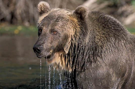 Grizzly Bear, (Ursus horribilis) Adult feeding on trout in high mountain lake. Montana. Captive Animal.