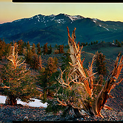 Sunrise, Ancient Bristlecone Pine Forrest. 4x5 Kodak Ektar 100. photo by Nathan Lambrecht