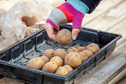 Chitting potatoes by placing them in a tray