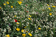 Flowering Meadow with white and yellow flowers and red poppy