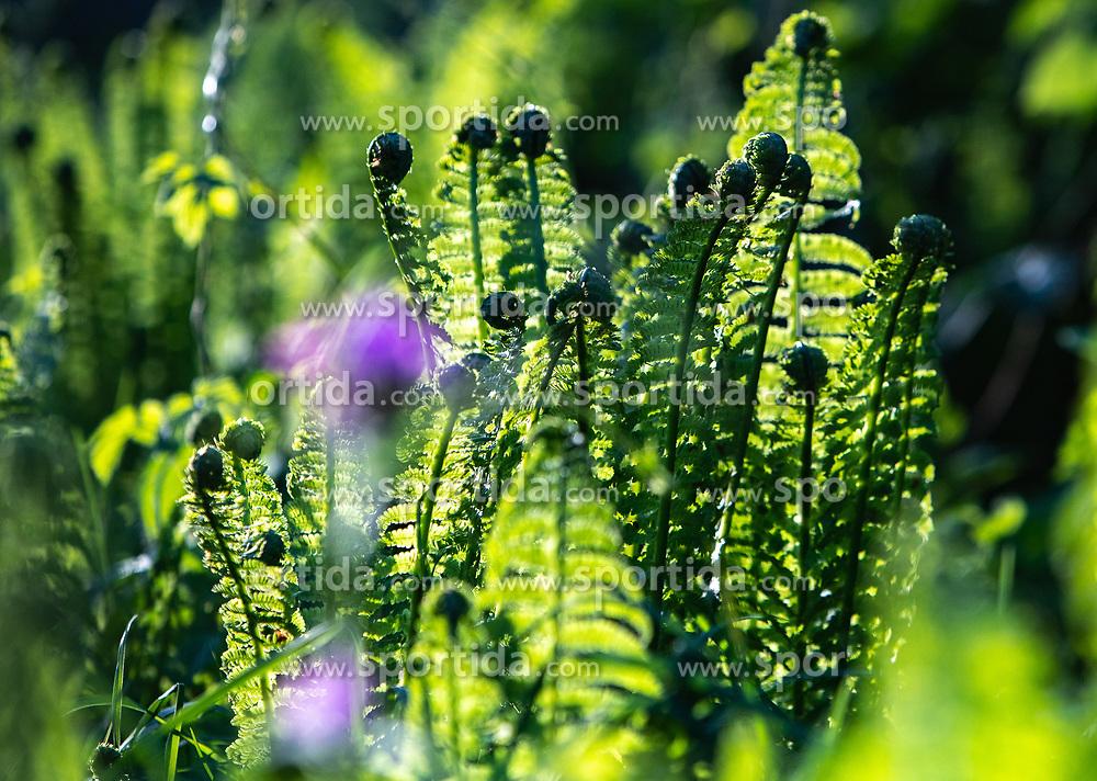 THEMENBILD - Farn (Osmunda regalis) im Gegenlicht, aufgenommen am 07. Mai 2018, Kaprun, Österreich // Fern (Osmunda regalis) in backlight on 2018/05/07, Kaprun, Austria. EXPA Pictures © 2018, PhotoCredit: EXPA/ Stefanie Oberhauser