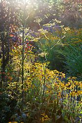 Rudbeckia fulgida var. deamii and Foeniculum vulgare (fennel) at Glebe Cottage