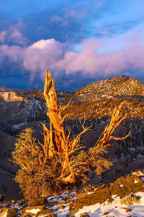Clearing Storm and Sunset Glow on of Ancient Bristlecone Pine, The White MountainsInyo National Forest, California