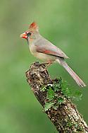 Northern Cardinal - Cardinalis cardinalis - female