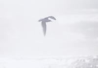 Seagul flying over surf on beach on Washington Coast, USA.  January 2000<br />