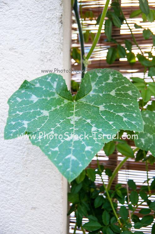 Pumpkin plant grows in a garden