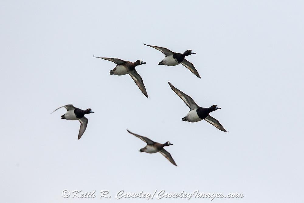 Scaup (bluebills) in flight