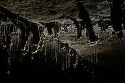 Sticky silk threads hanging down from the roof of the cave from the larvae of the fungus gnats (Arachnocampa luminosa). The larvae of the species are bioluminescent and feed on the light-attracted insects that get entagled in their sticky silk threads. Glowworm cave near Waitomo Cave, New Zealand. | Das Gebiet um Waitomo, Neuseeland, ist bekannt für seine Höhlensysteme. In dieser Höhle in der Nähe von Te Kuiti findet man neben hängenden Tropfsteinen (Stalagtiten) auch die sanft im schwachen Luftzug schwankenden Fangfäden von Pilzmückenlarven. Die Maden der Pilzmückenart Arachnocampa luminosa leben in Seidengespinsten unter der Höhlendecke. Die mit klebrigen Sektrettröpfchen versehenen, hängenden Fäden sind bis zu 40 cm lang, allerdings stellen die Mückenlarven bei stärkerem Luftzug kürzere Fäden her, die sich nicht so leicht verheddern. Zu stark verhedderte Fäden können das Heraufziehen eines gefangenen Beutetieres unmöglich machen. Die Beute, meist fliegende Insekten, wird durch die Erzeugung von Licht im Körperinneren der Larve (Biolumineszenz) angelockt. Die Larven leuchten allerdings nicht immer - bei Störung oder auch wenn sie gerade gefressen haben, wird die chemische Reaktion, die das Licht erzeugt, unterbrochen.
