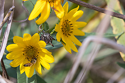 The western honey bee or European honey bee (Apis mellifera) is the most common of the 7–12 species of honey bees worldwide.