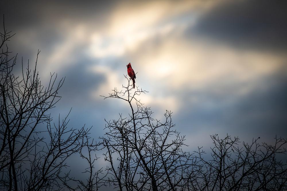 North American Cardinal, Grand Oaks, Austin, Texas