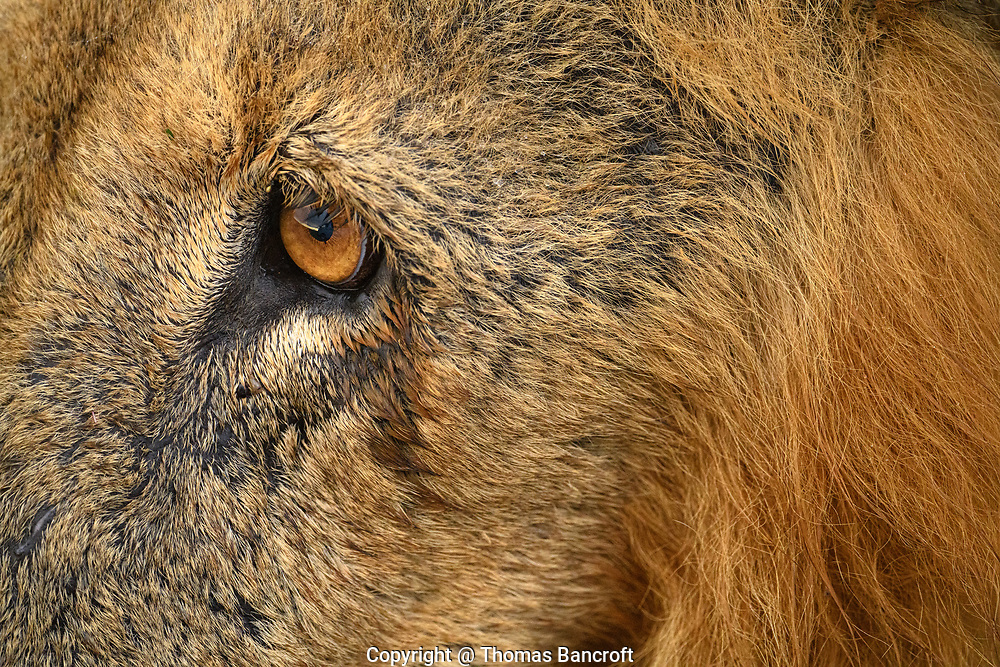 The orange iris of this male African lion blends nicely with the fur on his face.