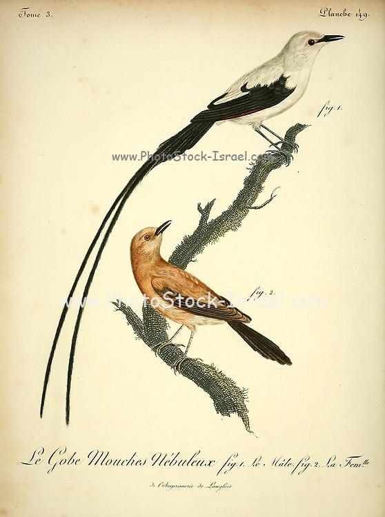 NÉBULEUX from the Book Histoire naturelle des oiseaux d'Afrique [Natural History of birds of Africa] Volume 3, by Le Vaillant, François, 1753-1824; Publish in Paris by Chez J.J. Fuchs, libraire 1799 - 1802