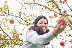 Close-up of a woman picking an apple from tree in an apple orchard, Bavaria, Germany
