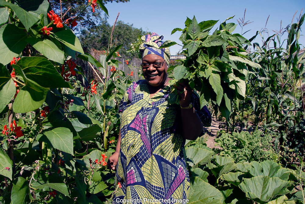 Multicultural allotment in Peckham South London growing organic produce.